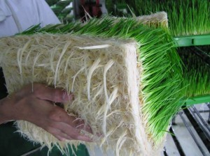 Aeroponicly grown wheatgrass