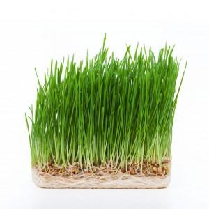 wheatgrass 100