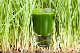 wheatgrass sprout and glass 1